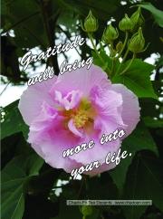 33-pink-rose-jpg