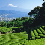 Mt Fuji Behind Tea Field