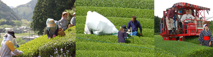 Tea Harvesting in Japan
