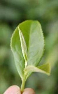 Healing Tea wonder Plant
